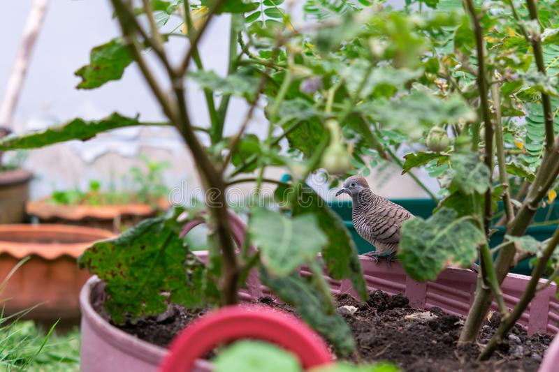 Zebra dove perched on a basket to plant trees royalty free stock photography