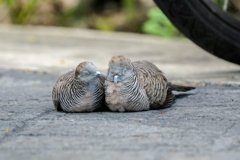 Zebra dove taking care of its partner stock photo