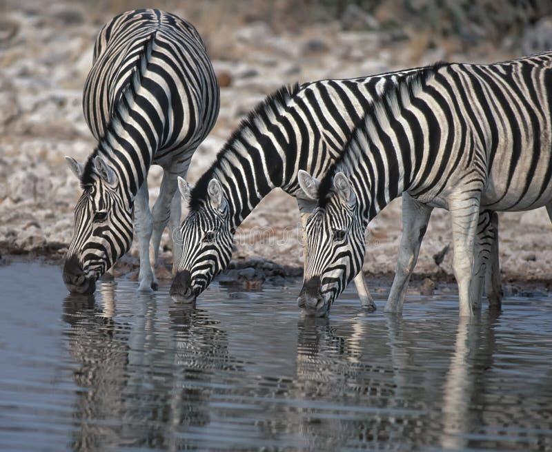 Zebra drinking. Three zebra drinking in Etosha waterhole royalty free stock photography
