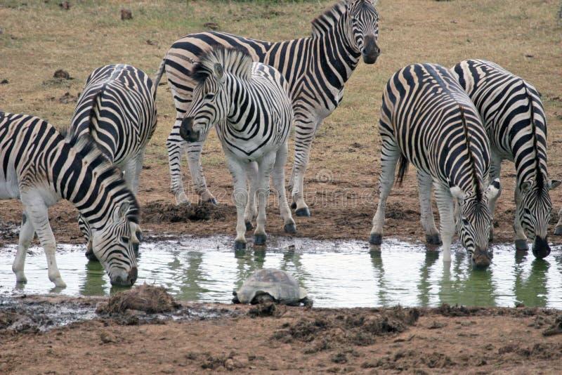 Zebra Drinking royalty free stock images