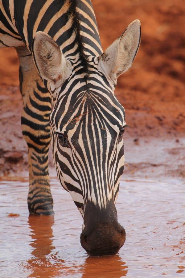 Download Zebra Drinking stock photo. Image of kenya, drink, stripes - 23185520