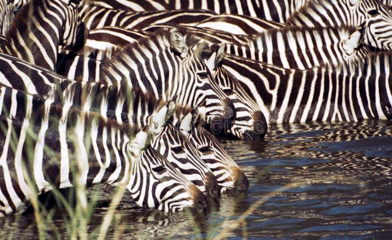 Zebra drinking. Zebra herd having a drink. Serengeti, Tanzania royalty free stock image