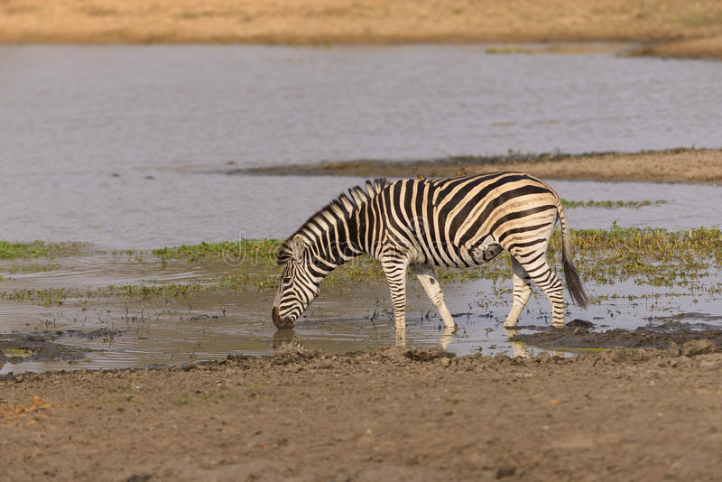Zebra Drinking in Africa. A lone zebra drinking from a water hole in Kruger National Park in South Africa stock photo
