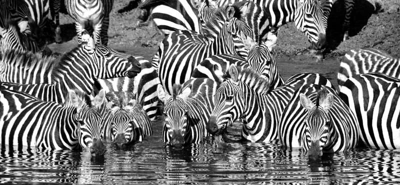 Zebra drinking black and white. Zebra having a drink in Serengeti National Park, Tanzania royalty free stock photography