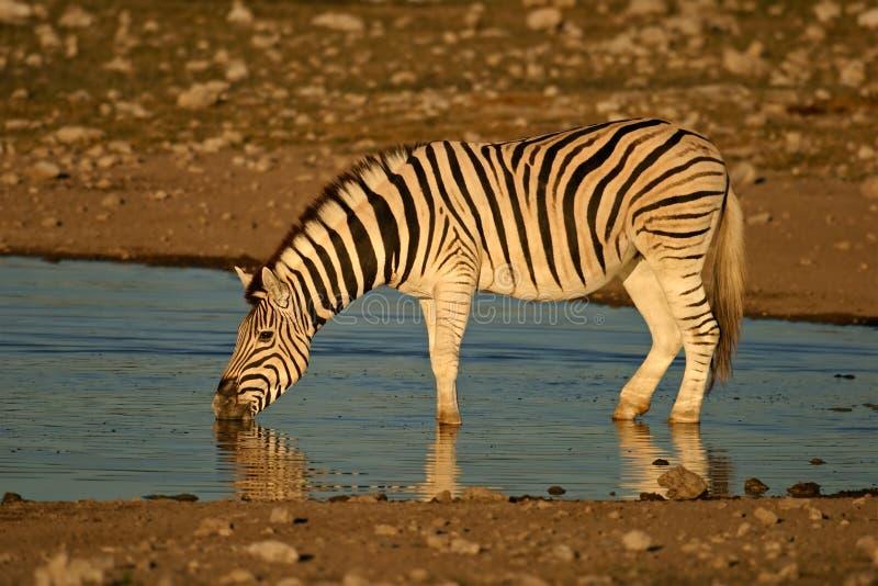 Zebra drinking, Etosha , Namibia. A Plains (Burchell's) Zebra (Equus quagga) drinking water, Etosha National Park, Namibia, southern Africa stock images