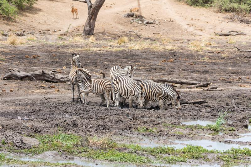 Zebra Drinking royalty free stock photo