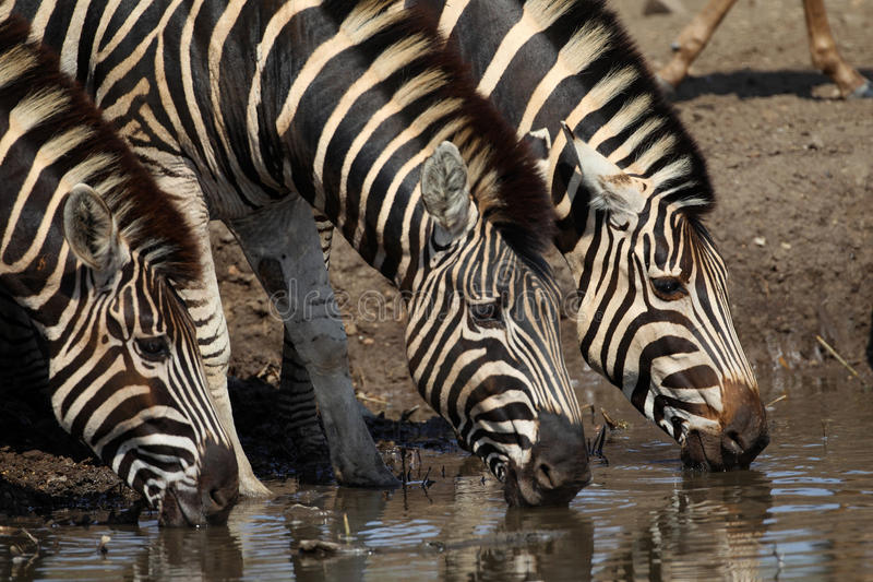 Zebra drinking in Kruger National Park. Common Plains Zebra in Kruger National Park stock image