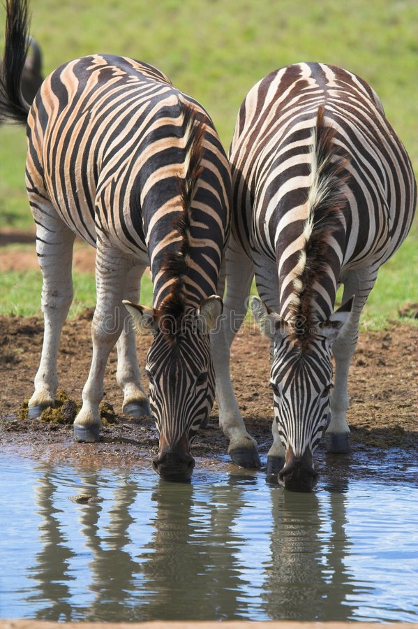 Zebra Drinking Pair. Zebra Pair Drinking at a waterhole with reflections royalty free stock images
