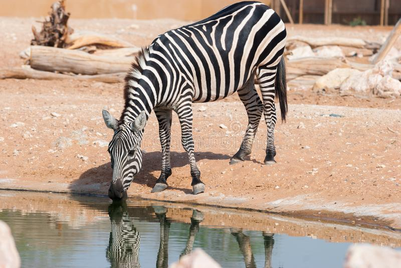 Zebra drinking in a pond royalty free stock image