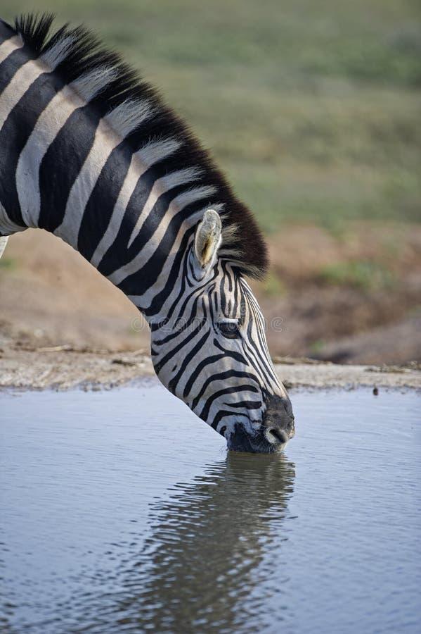 Zebra Drinking. A Zebra Drinking in Portrait mode stock photo