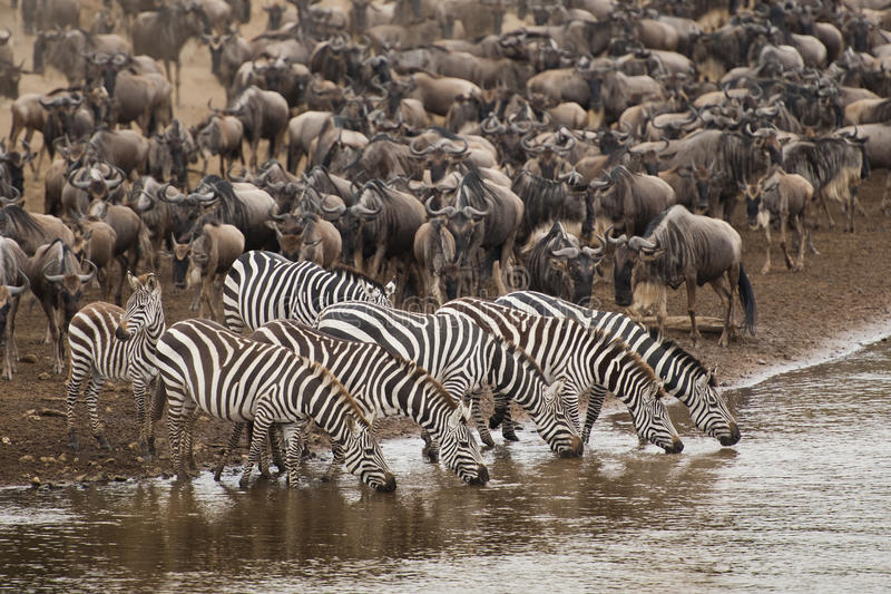 Zebra drinking water along the Mara river. Zebra and wildebeest gathering on the banks of the Mara river royalty free stock photography