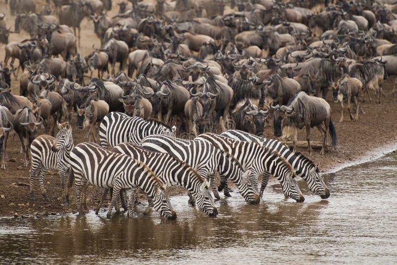 Zebra drinking water along the Mara river royalty free stock photography