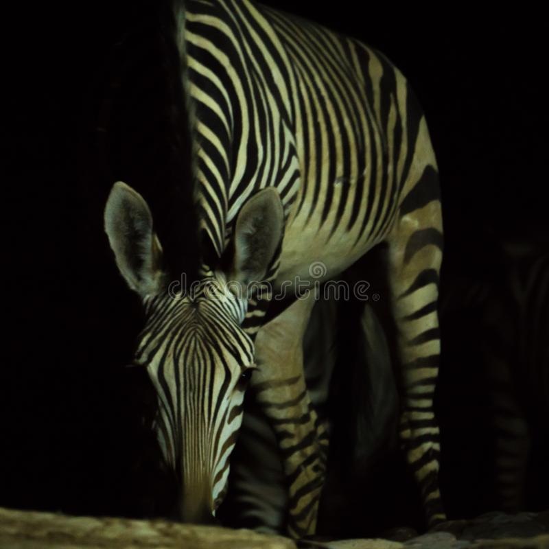 Zebra drinking water at night royalty free stock photo