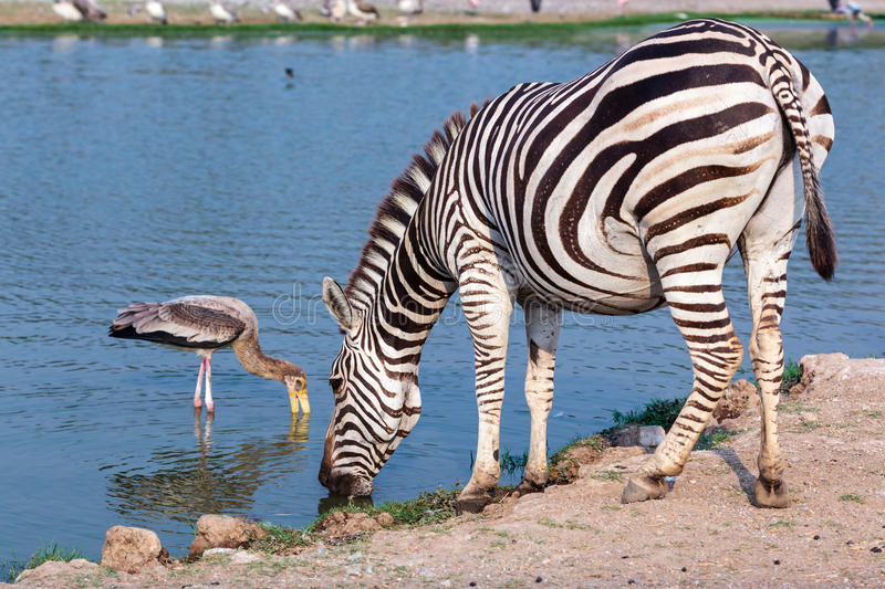 Zebra drinking water. From pond in park stock photo