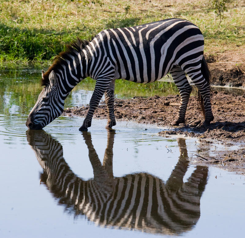 Zebra drinking water from the river. Kenya. Tanzania. National Park. Serengeti. Maasai Mara. stock photos