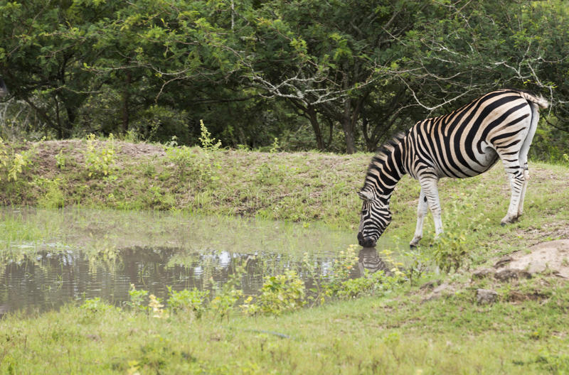 Zebra drinking water in small pond stock photos