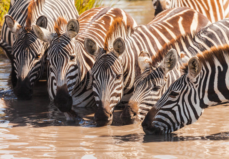 Zebra. Drinking in the wild royalty free stock image