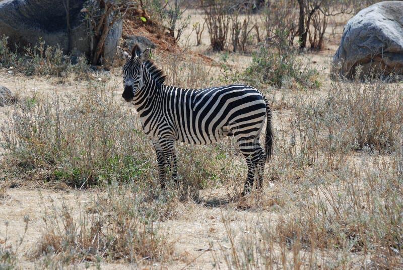 Tanzania wildlife - Plain Zebra in dry savannah woodland. Zebra in dry savannah woodland - Tanzania - looking at the camera - Ruaha National Park - Southern stock image