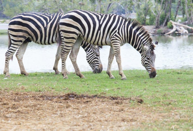 Zebra due su uso verde delle foglie dell'erba di cibo del campo per gli ani africani fotografie stock libere da diritti