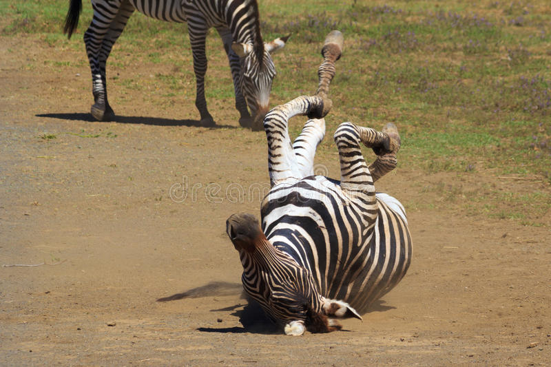 Zebra in the dust royalty free stock photo
