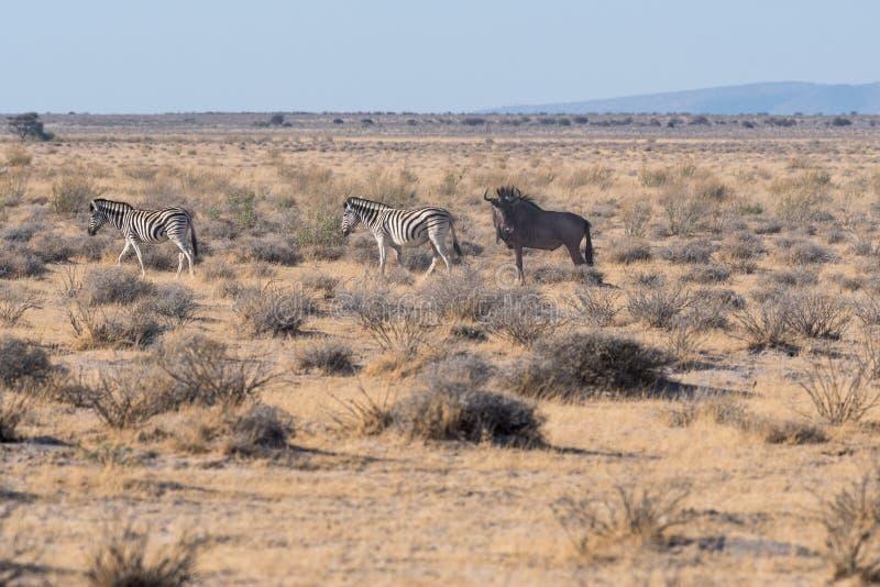 Zebra e bebê com um gnu imagens de stock