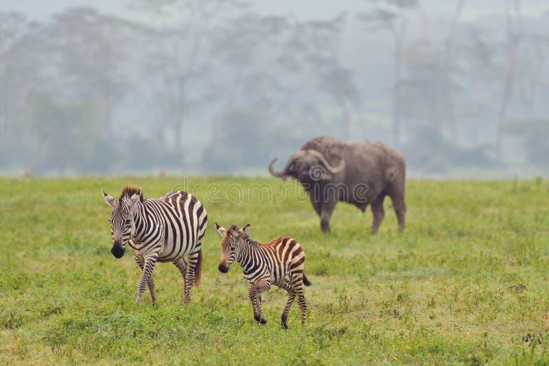 Zebra e bufalo sul parco nazionale fotografie stock libere da diritti
