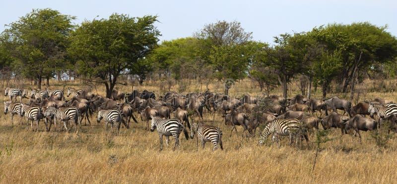 Zebra e gnu na migração fotos de stock royalty free