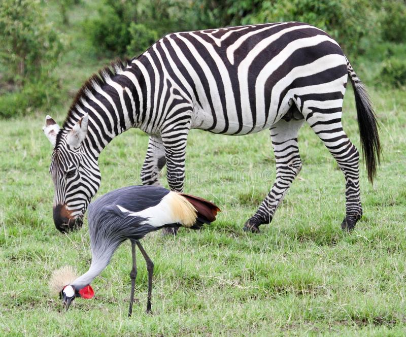 Zebra e guindaste com crista foto de stock