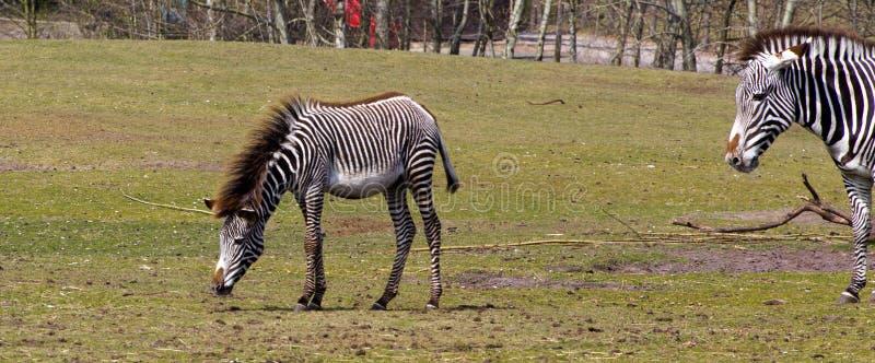 Zebra e madre del bambino fotografia stock