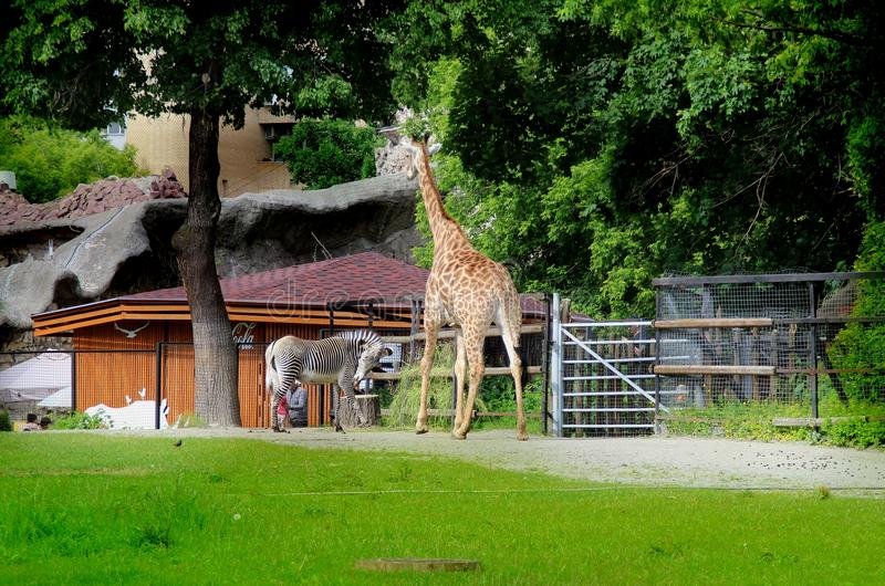 Zebra e o girafa fotografia de stock