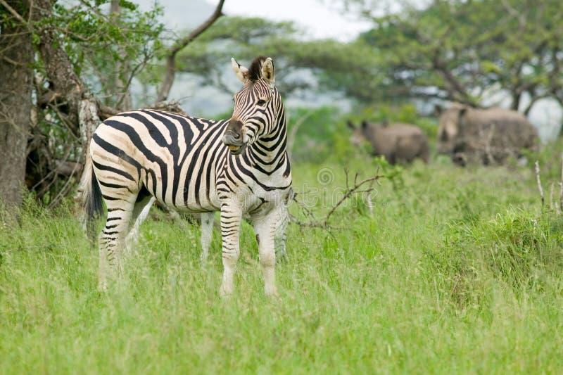 Zebra e un rinoceronte di due bianchi nella riserva di caccia di Umfolozi, Sudafrica, stabilito nel 1897 fotografia stock libera da diritti