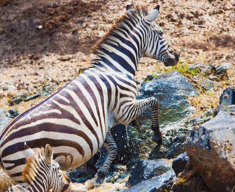 Download Zebra foto de stock. Imagem de wildebeest, animal, mamífero - 29843504