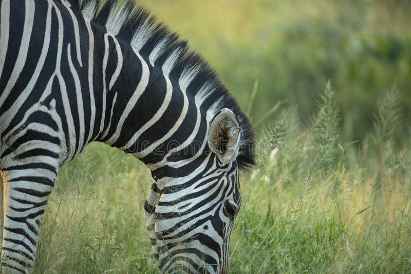 Zebra Ears and mane whilst feeding. A zebra with his head down feeding in the beautiful summer grass royalty free stock photography