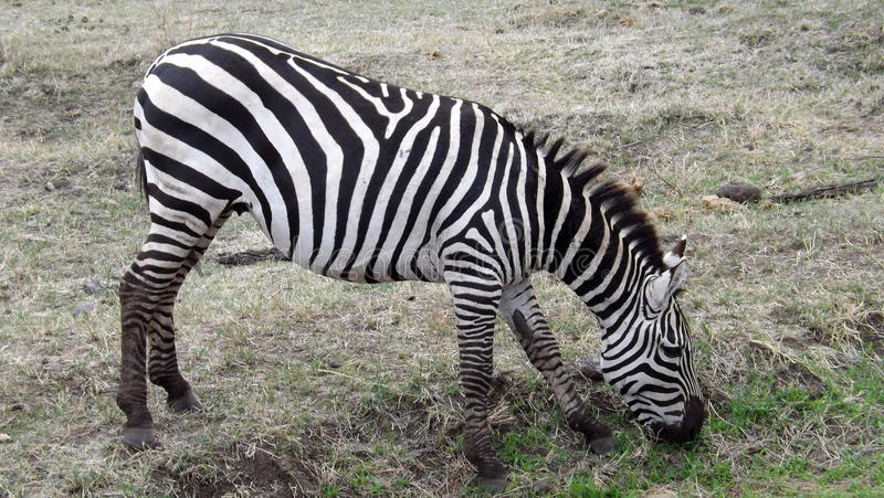 Zebra eating grass at Serengeti Reserve royalty free stock photos
