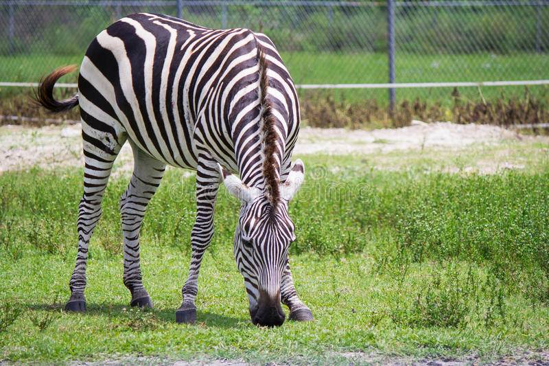 Zebra eating grass in the wild stock photo