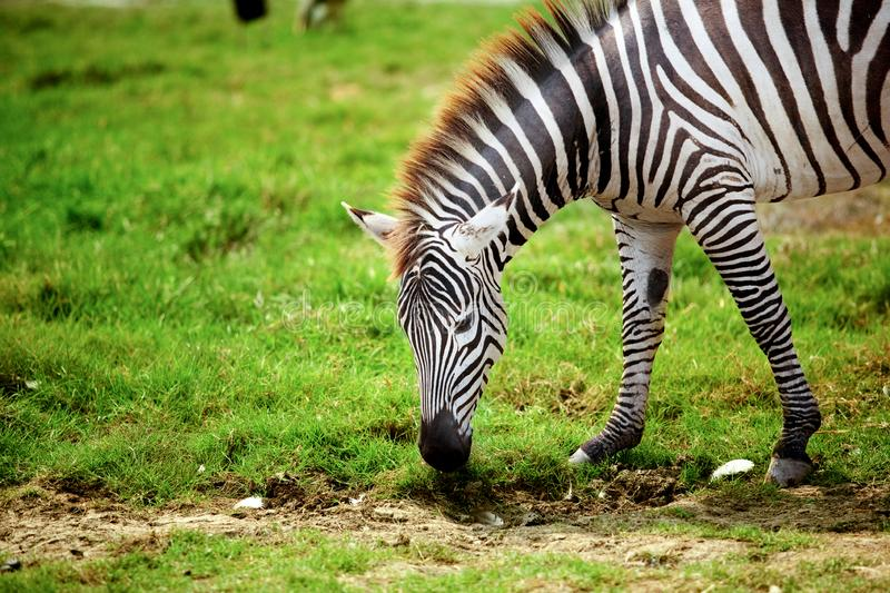 Zebra. Eating grass in the zoo animal animals beautiful black camouflage close-up color crossing east equus fauna feeding green ground head herbivore horse life stock images
