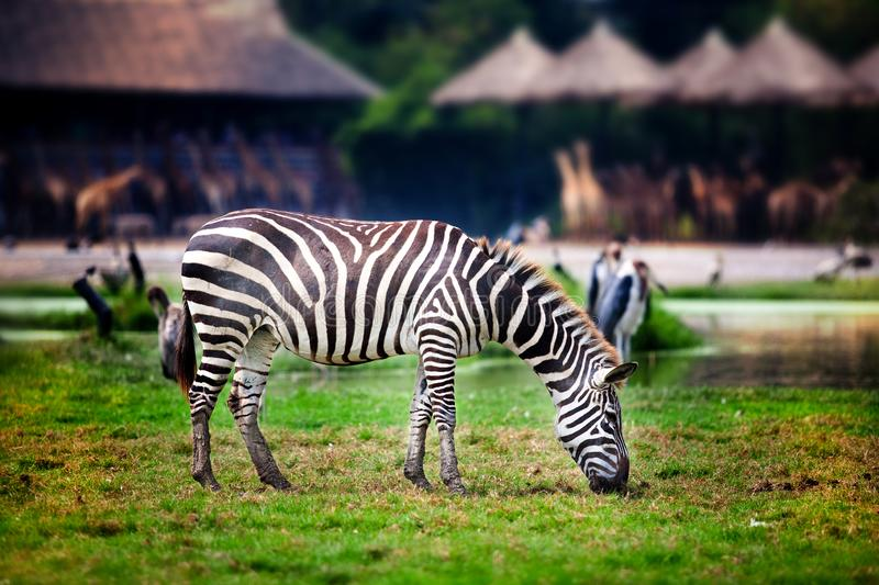 Zebra eating grass in the zoo stock images