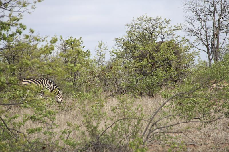 Zebra and elephant hiding in the bush, Kruger National Park, South Africa stock photos