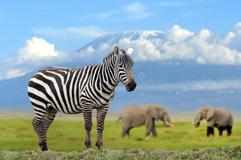 Zebra on elephant and Kilimanjaro background. Kenya stock photo