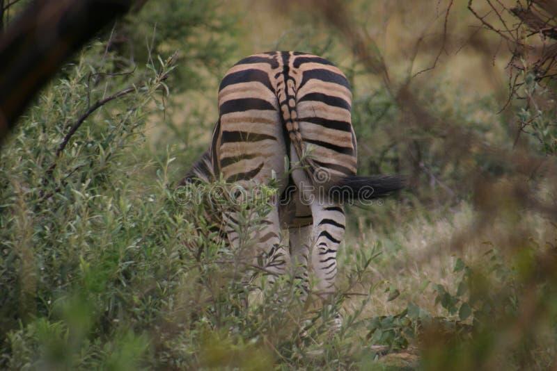 Zebra em África fotografia de stock royalty free