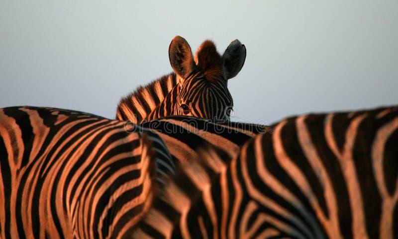 Zebra em África do Sul fotografia de stock