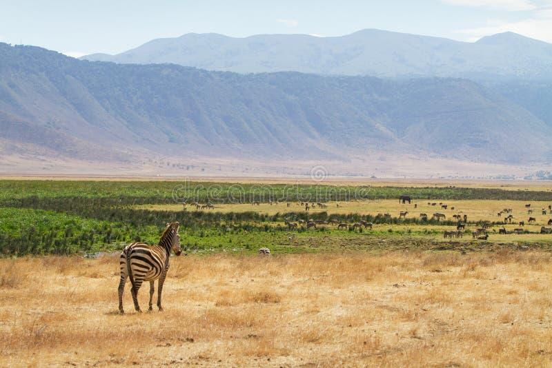Zebra em Ngorongoro fotografia de stock royalty free