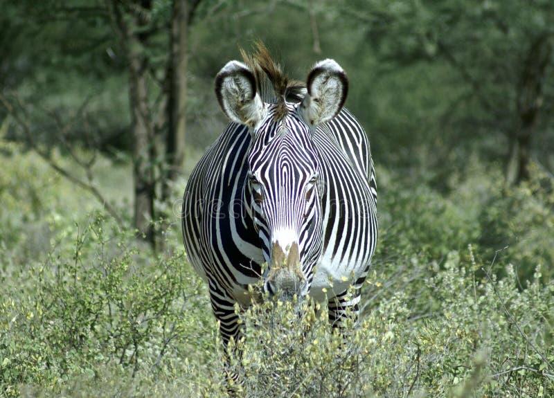 Zebra em uma grama foto de stock
