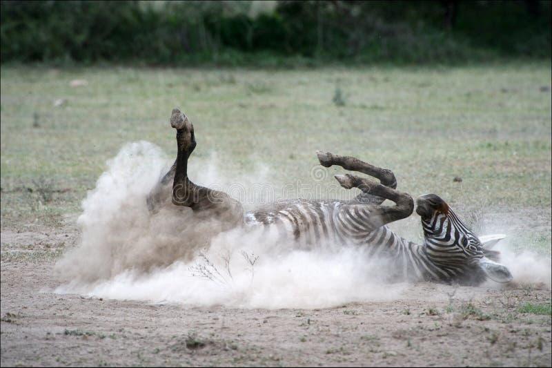 Zebra em uma poeira. 2 imagens de stock royalty free