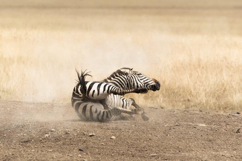 Zebra em uma poeira imagens de stock