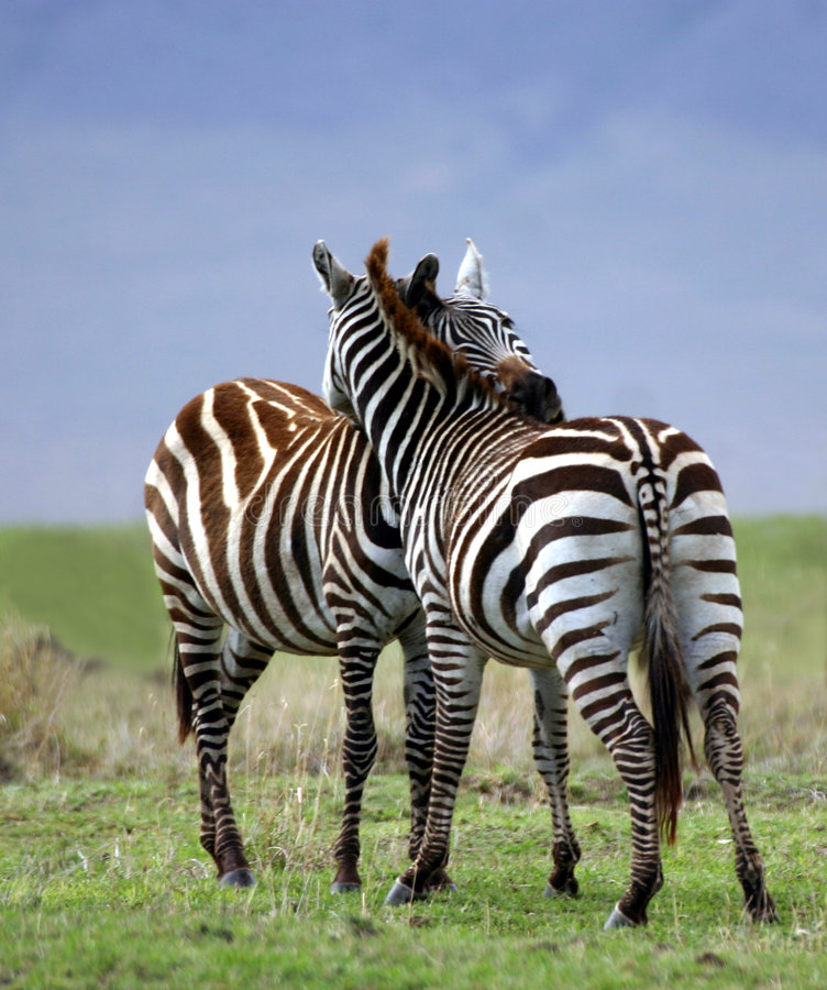 Zebra Embrace royalty free stock images