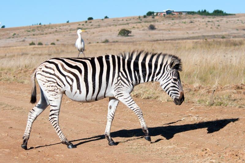 Zebra en Aigrette. stock fotografie