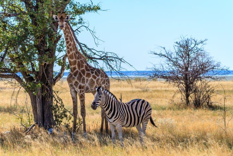Zebra en Giraf die wat schaduw op de savanne van het Nationale Park van Etosha, Namibië, Afrika krijgen stock foto's