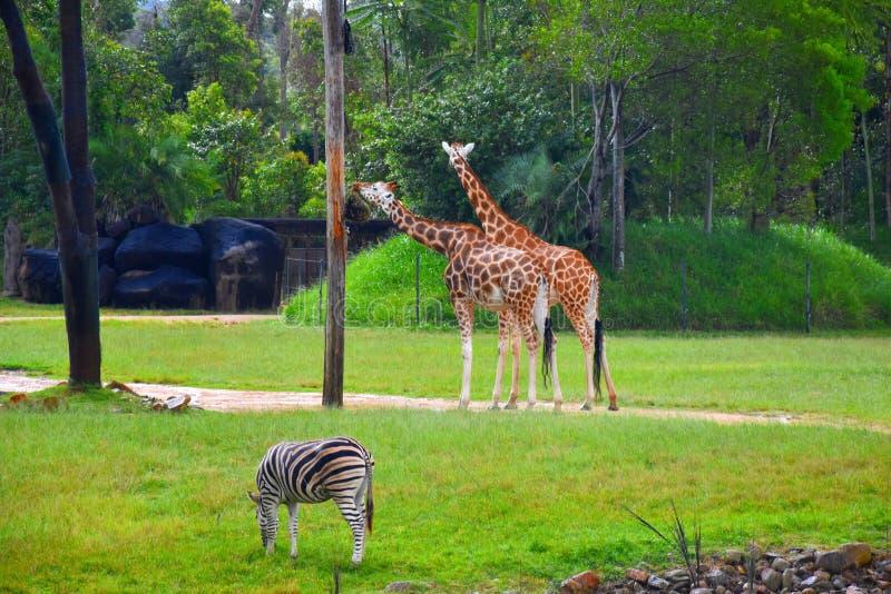 Zebra en giraffen in het Afrikaanse Safaritentoongestelde voorwerp royalty-vrije stock foto's