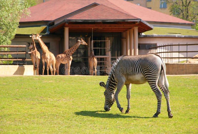 Zebra en giraffen in Moskou dierentuin stock foto's